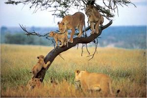 Lake Manyara Lions