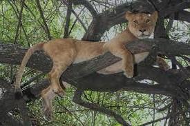 """""""tree climbing lion in Manyara"""""""