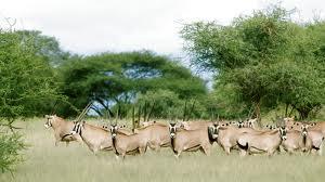 """The Tarangire Oryx"""