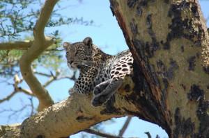 Ngorongoro crater leopard