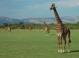 """""""Lake Manyara Giraffe"""""""