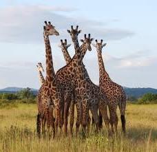"""The Mikumi giraffes"""
