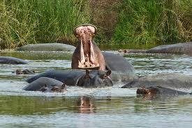 """""""The ngorongoro crater hippo"""""""