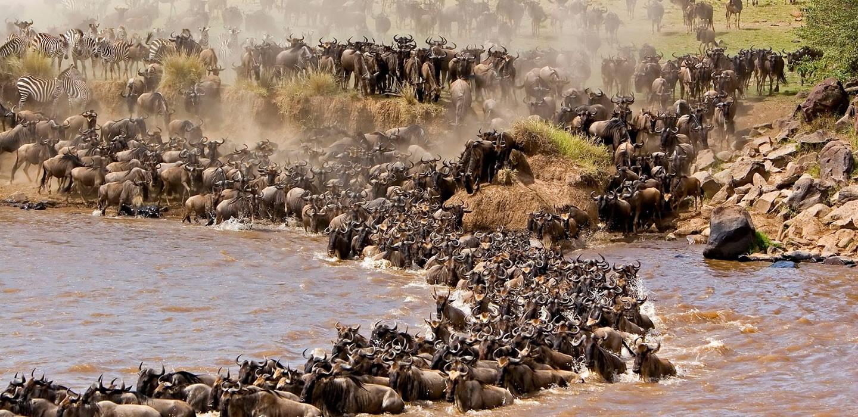 The wildebeest migration crossing Mara RiverGreat Wildebeest Migration