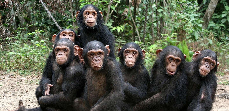 Trek Chimpanzee in Gombe and MahaleChimpanzee Trekking Tours